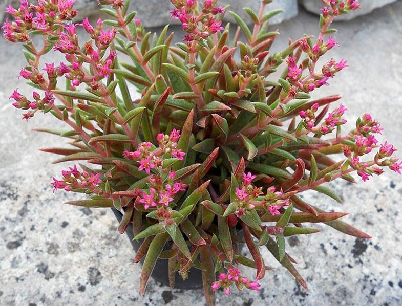 Fairy Tongue Succulent