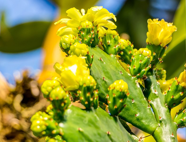 Brazilian Prickly Pear flowers