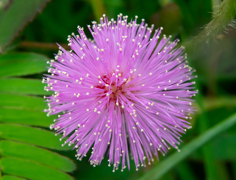 Mimosa Pudica flower