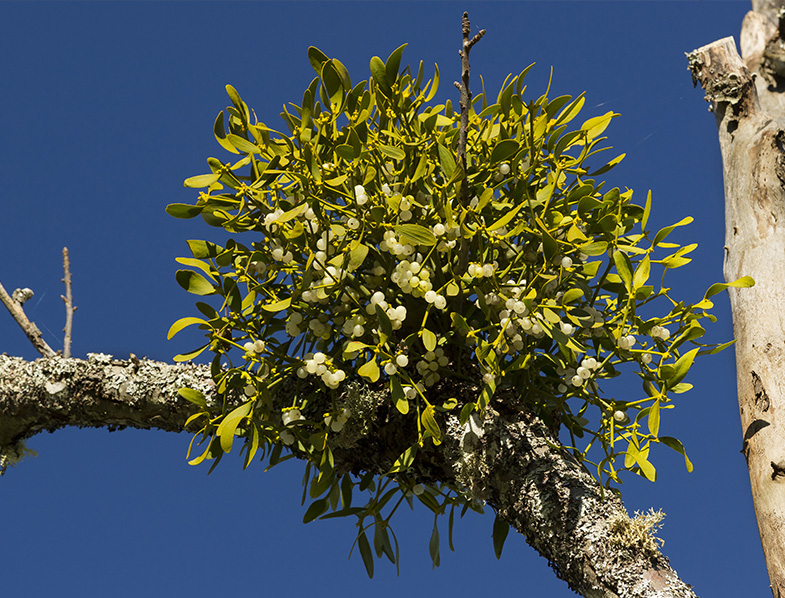 Mistletoe growing