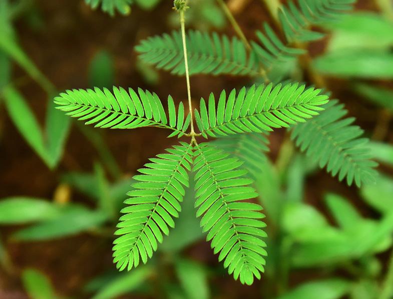 sensitive plant leaf