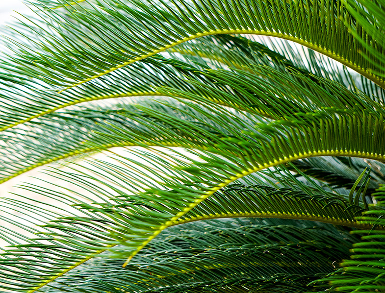 pygmy date palm leaves