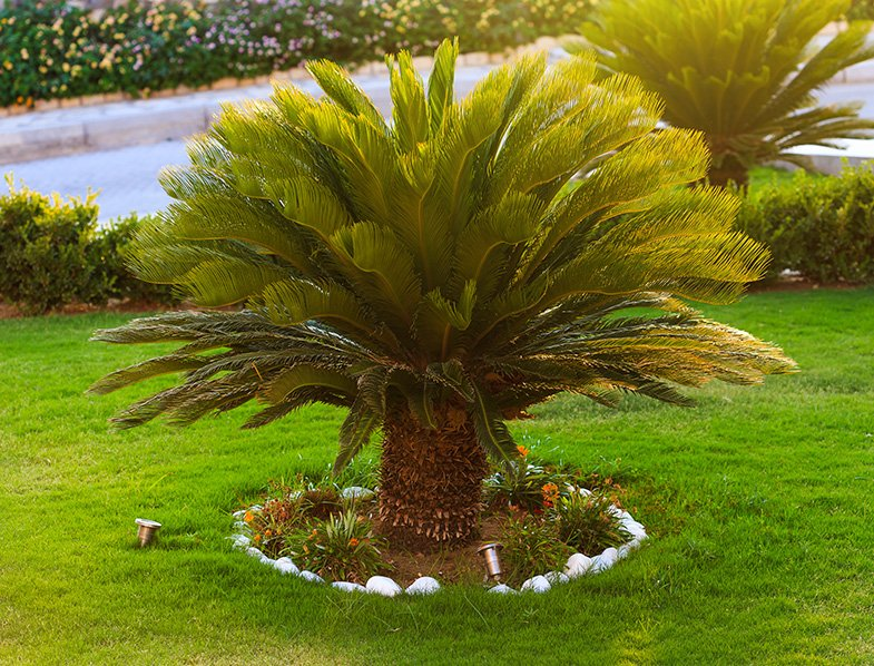 sago palm trees growing in the backyard