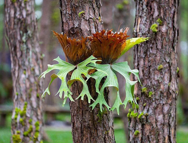 Staghorn Fern on a tree
