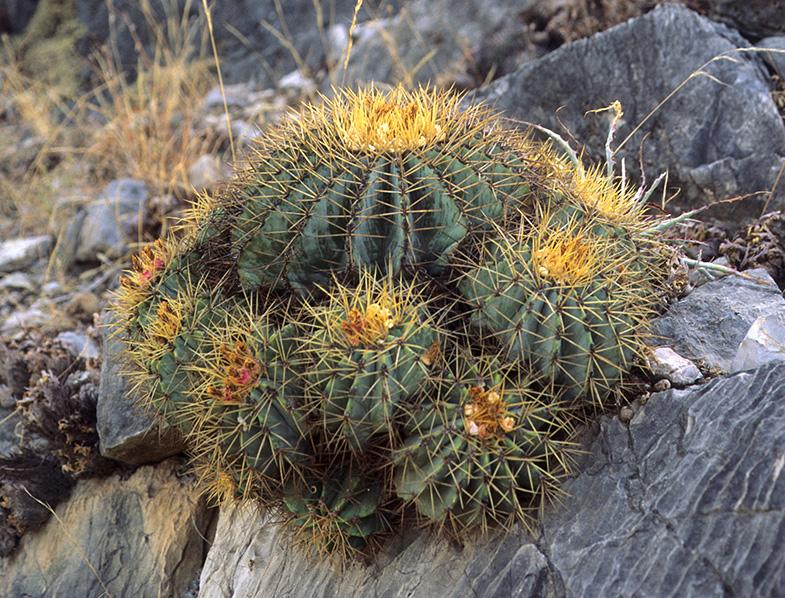 Ferocactus glaucescens in the wild