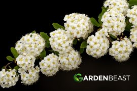 Bridal Wreath Shrub