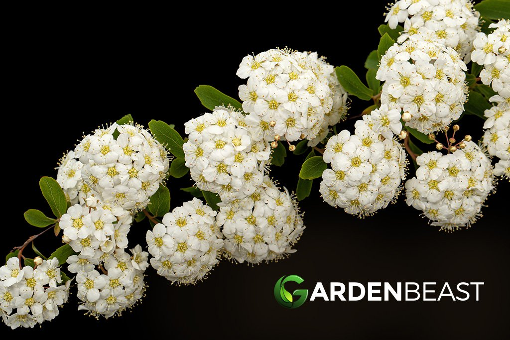 Bridal Wreath Shrub