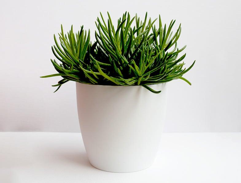 Succulent Bush Senecio