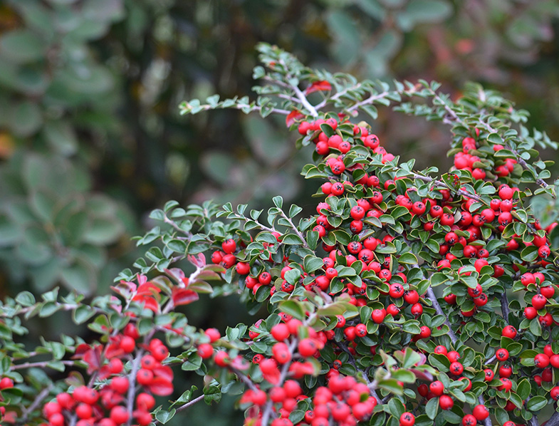 Berries of the Cotoneaster Shrub