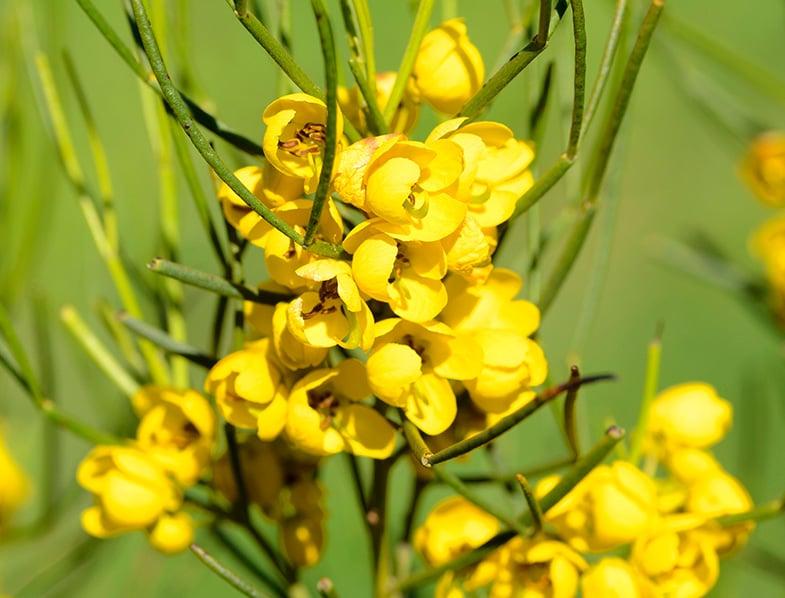 Closeup of Senna artemisioides flowers