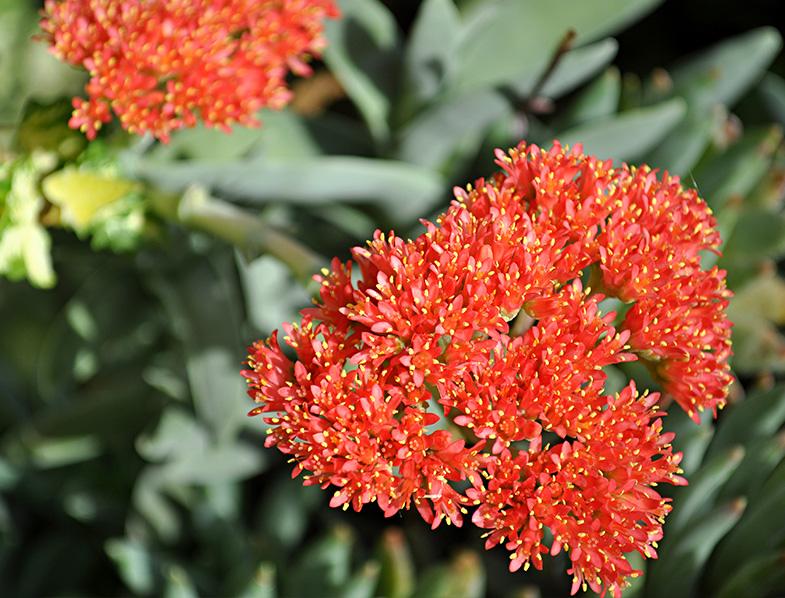 Flower of the Propeller Plant