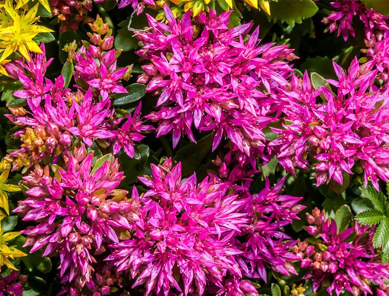 Flowering Sedum Spurium