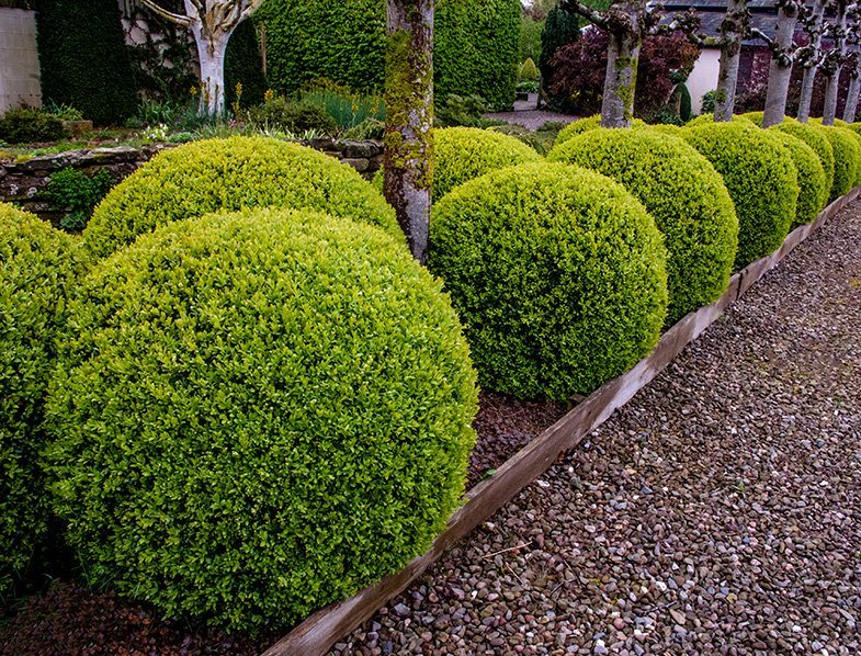 Boxwood topiary balls