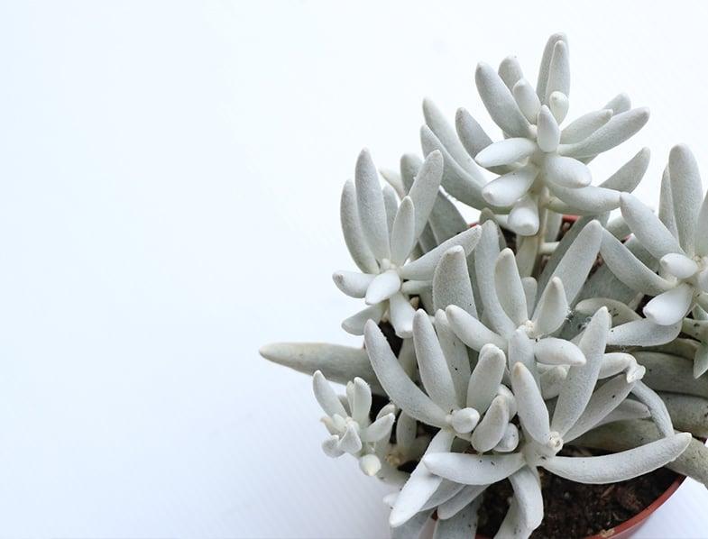 Cocoon Plant