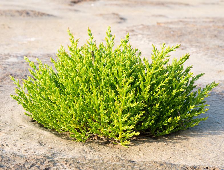 Common Glasswort