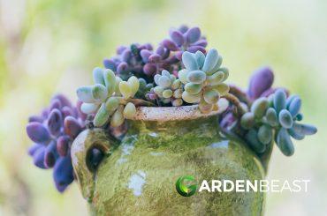 Graptopetalum amethystinum