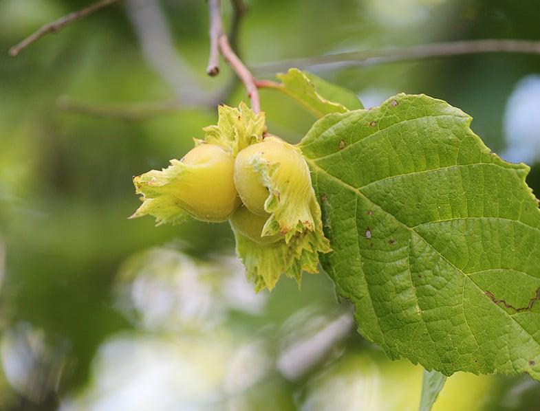 Hazelnuts growing