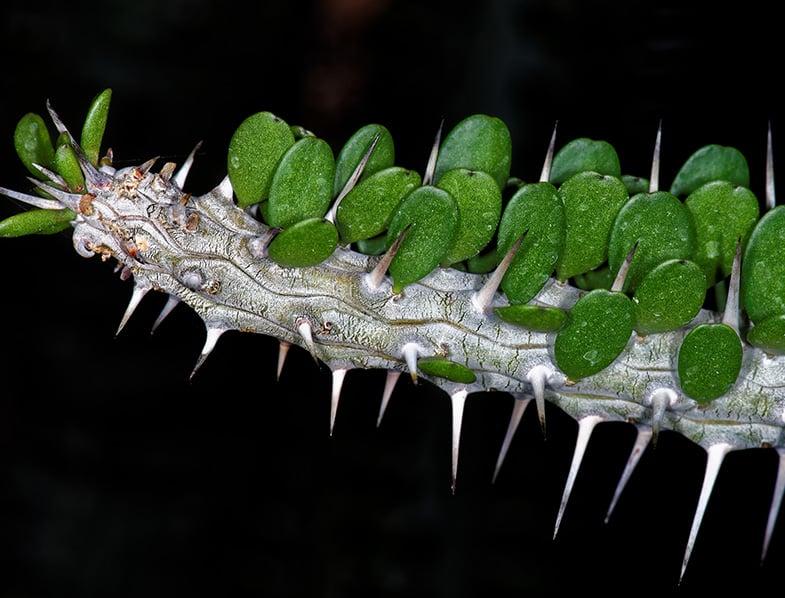 Madagascar ocotillo