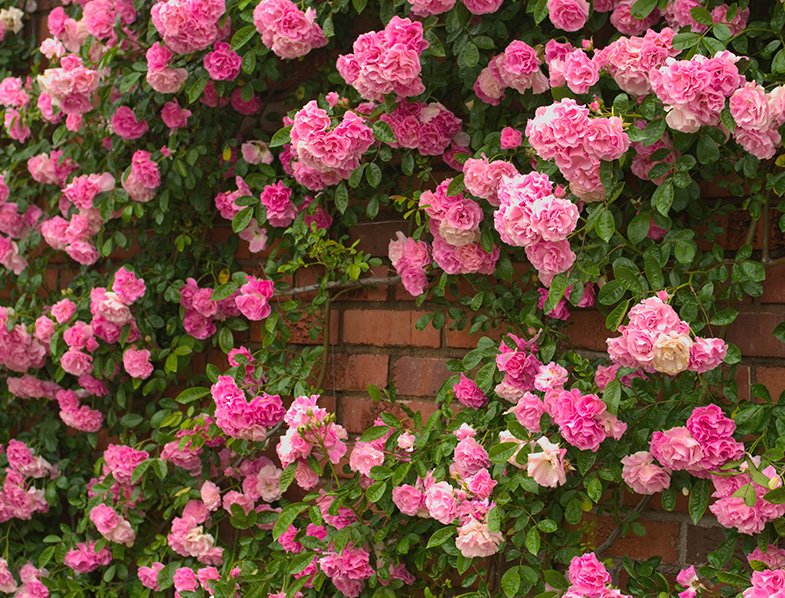 Pretty Pale Pink Climbing Roses
