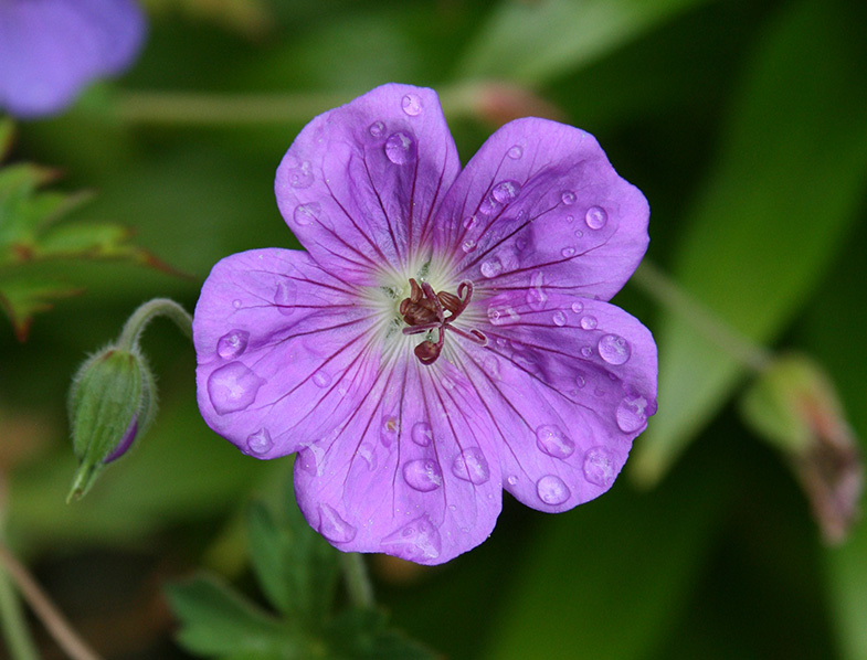 Purple Geranium Cranesbill