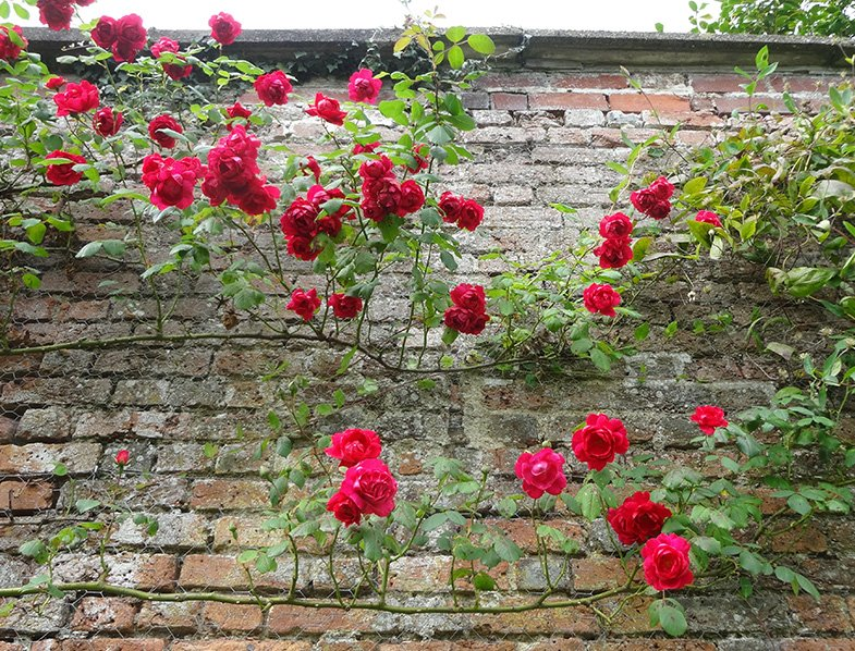 Red roses rambling up an old brick wall