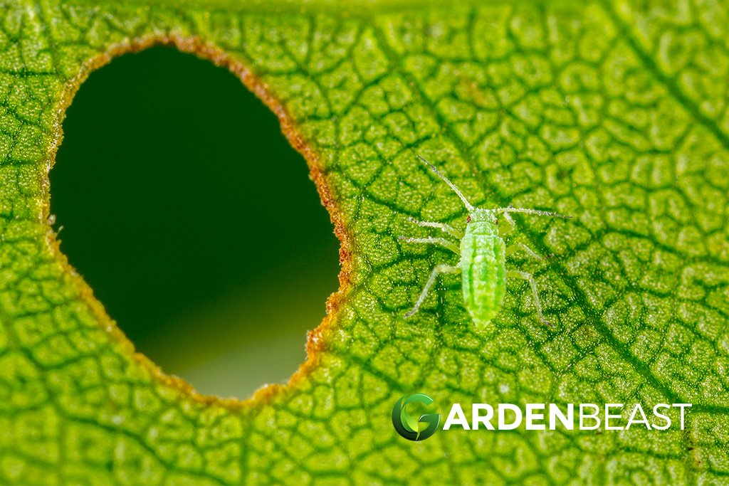 Aphids on leaf