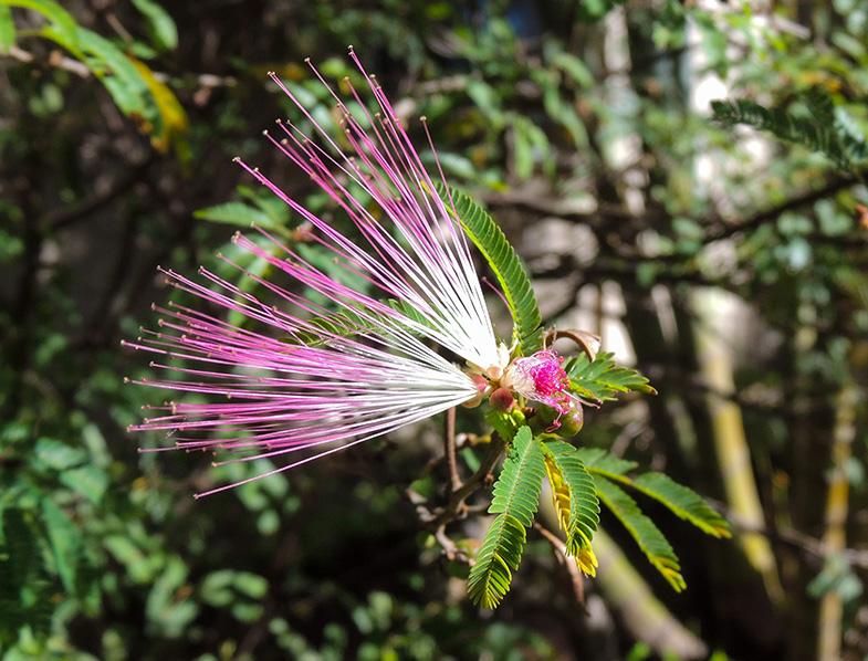 Calliandra Eriophylla flower