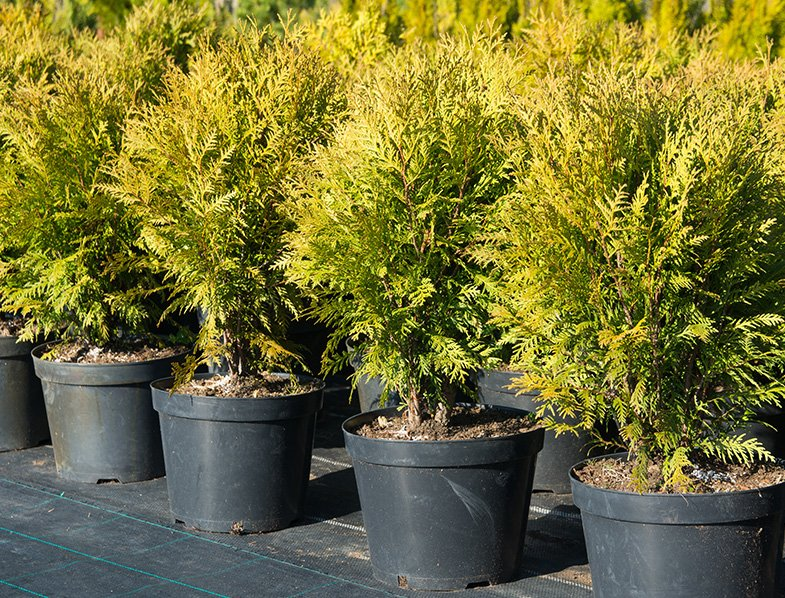 young thuja occidentalis