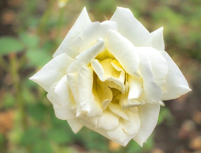 Diamond Days Rose