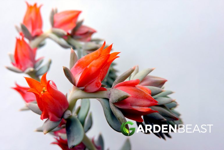 Flowering Succulents