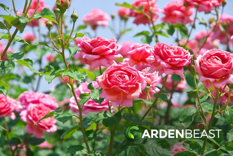 best time to plant roses