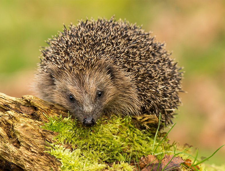 Wild European hedgehog