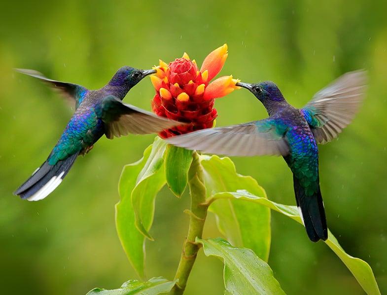 A pair of Blue hummingbirds