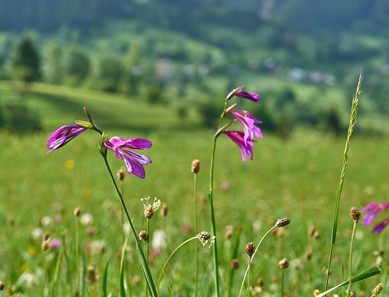 Gladiolus palustris
