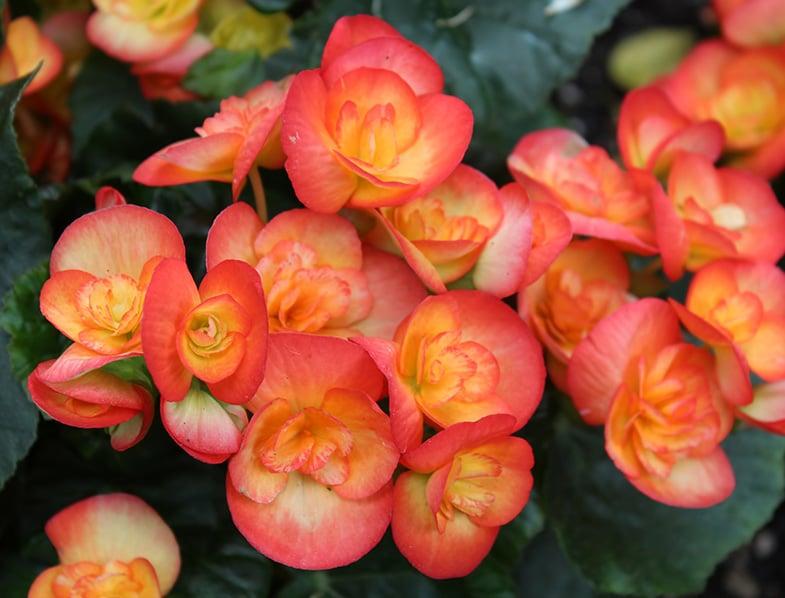 Orange Rieger Begonias