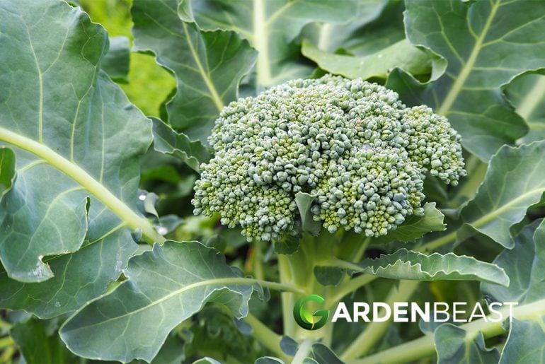 Broccoli Companion Plants