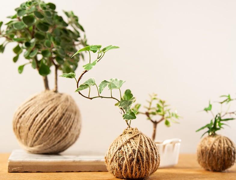 Japanese Moss Ball
