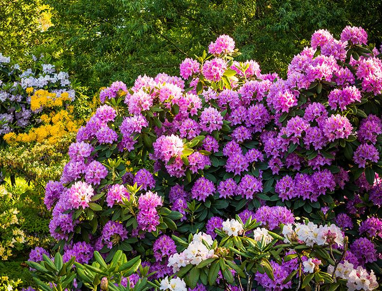 Rhododendron Shrub
