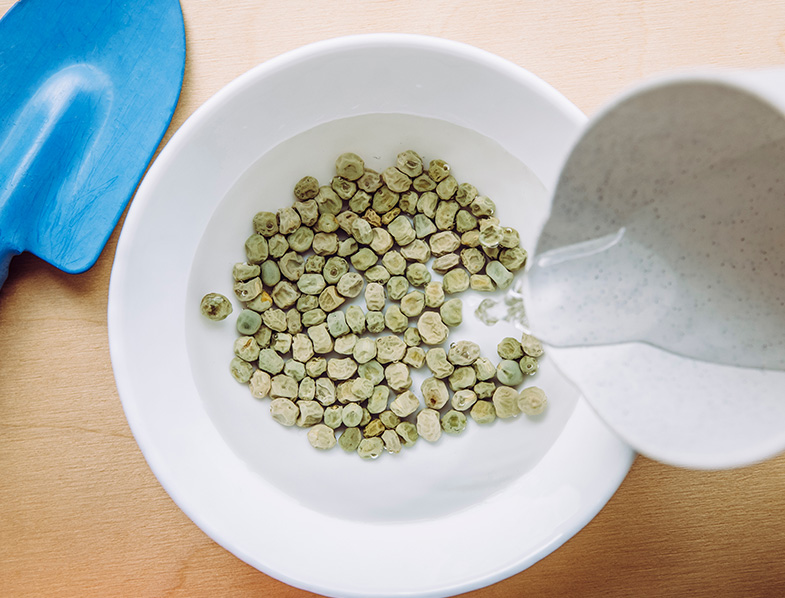 Soaking green pea seeds in warm water