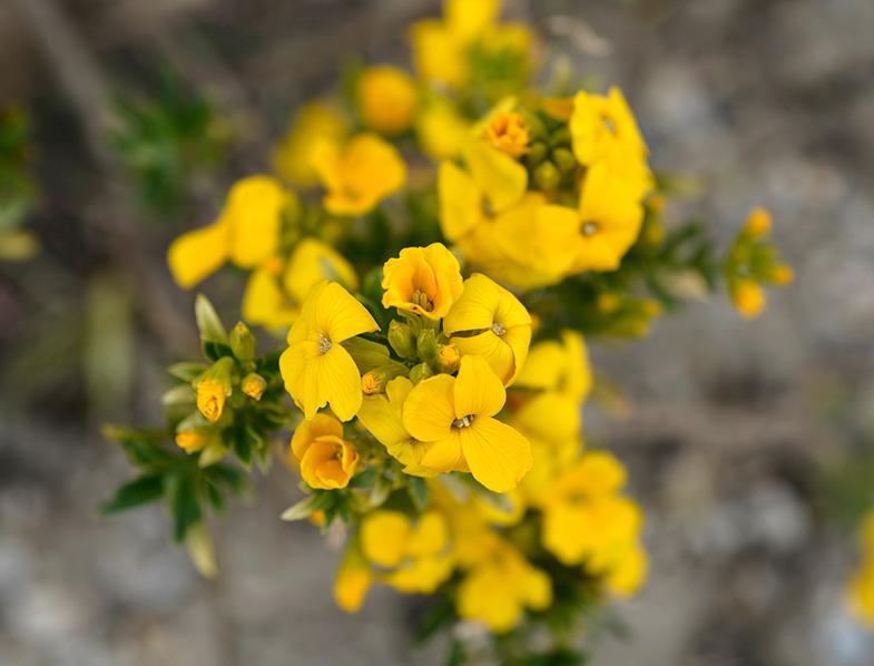 Yellow Wallflower