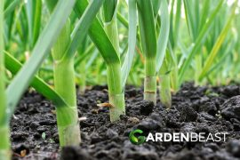 Garlic Companion Plants