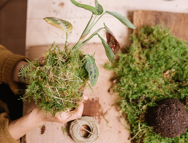 rap the soil ball you've made with sheet moss
