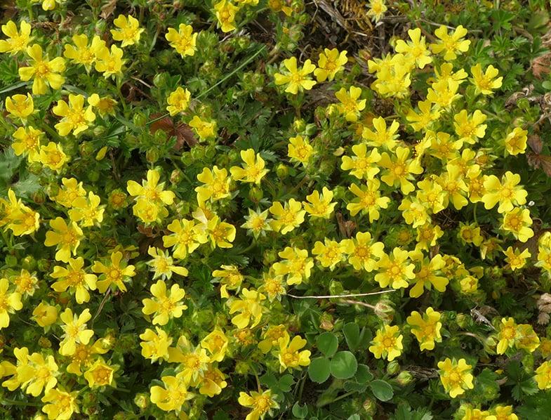spring cinquefoil