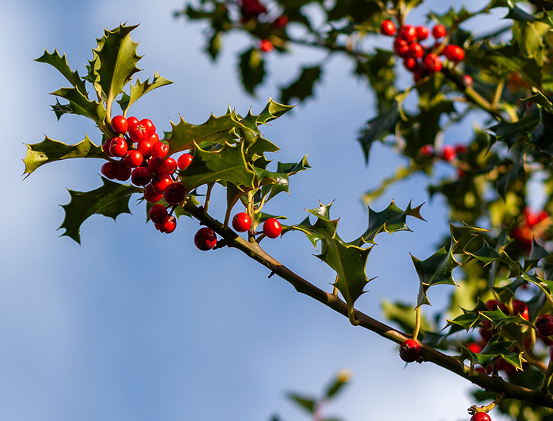 Branch of a holly tree with berries