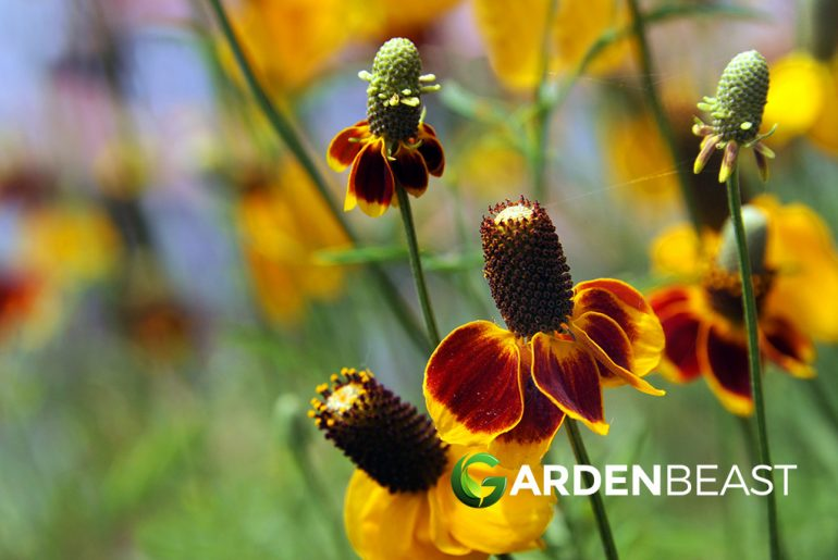 Mexican Hat Flower