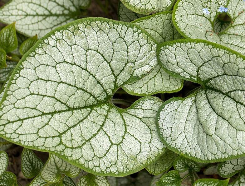Siberian Bugloss leaves