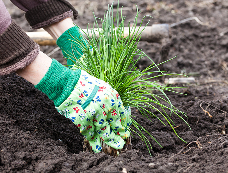 Planting Chives