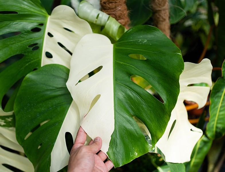 variegated borsigiana plant