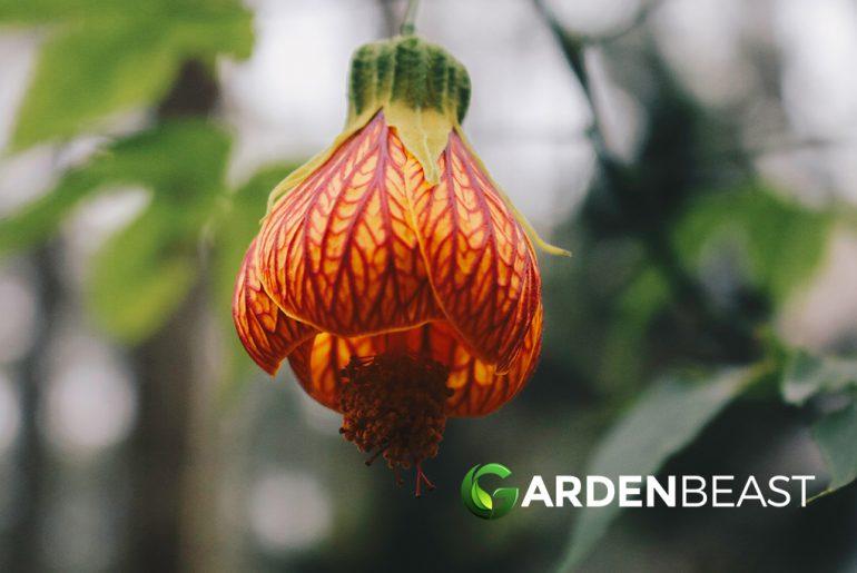 Abutilon Plants