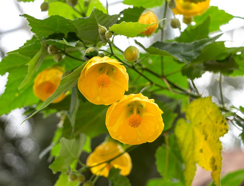 Abutilon lucky lantern flower